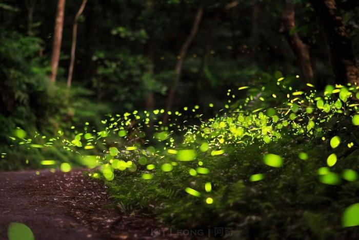 Волшебные леса светлячков