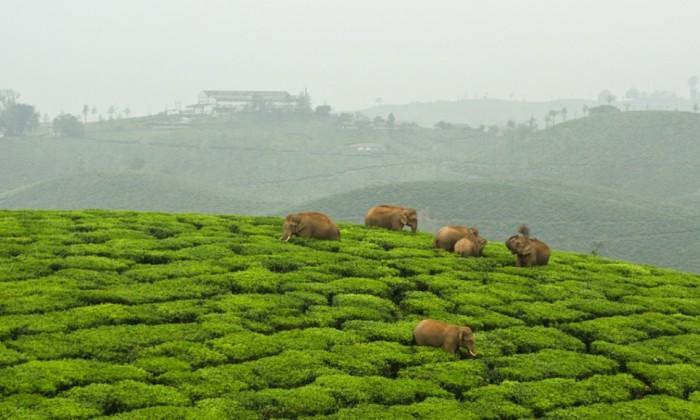 Индийские ученые рещили конфликт между людьми и дикими слонами с помощь SMS и телевидения