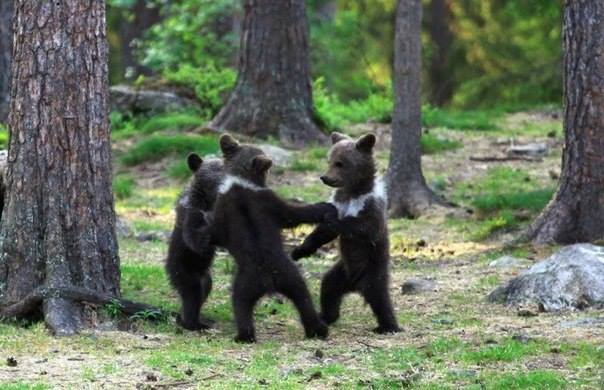 Финские медвежата водят хоровод