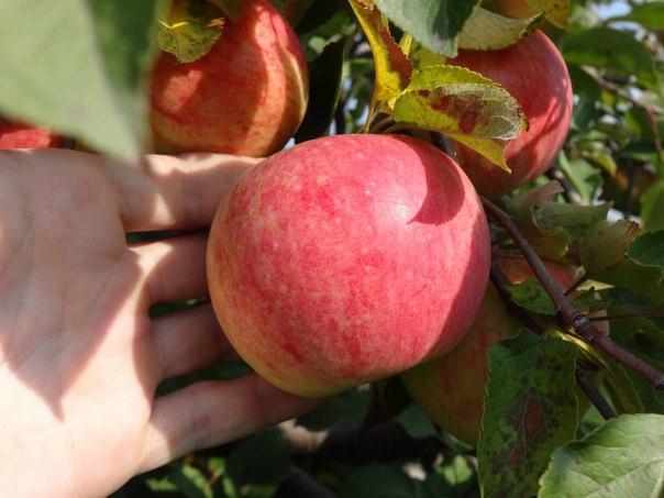 Яблоня из семечка - реальность