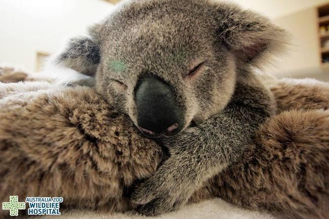 Этот детеныш коалы не отходил от своей мамы ни на минуту во время операции