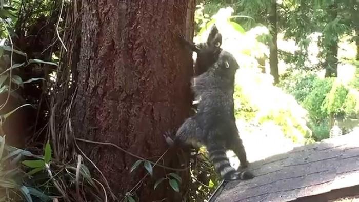 Мама-енот учит детеныша залезать на дерево