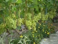 Если у тебя небольшой участок и ты хочешь получать богатые урожаи винограда, прочитай это...