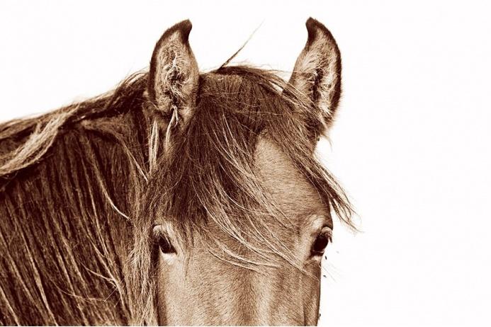 Дикие и необузданные лошади острова Сейбл: табун на севере Атлантики