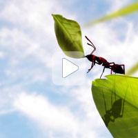 Что делают муравьи с собранными листьями