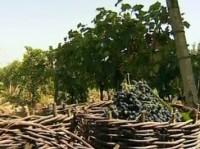 Ученые открыли новые уникальные свойства винограда