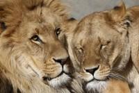 За 20 лет Африка потеряет до 50% львов