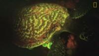 Океанолог случайно нашел первую в мире светящуюся черепаху