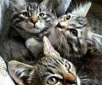 Кошки лечат от болезней сердца и стресса