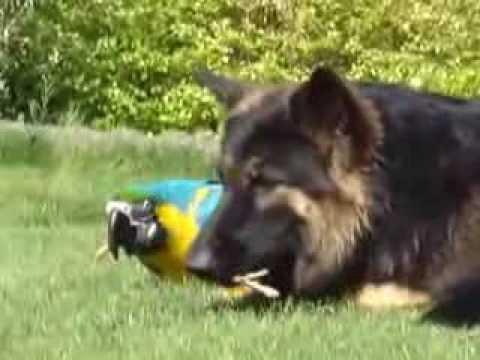 Как собака и попугай дружбу водили