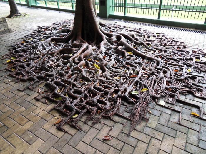 Корни деревьев, которые выиграли войну с бетоном