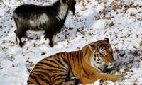 Тигр Амур стал более спокойным после знакомства с козлом Тимуром
