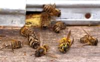 Пестициды убивают пчел. Как это сказывается на нас и что предпринимают власти
