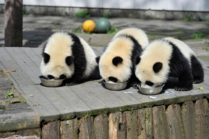 Детский сад для панд в Китае
