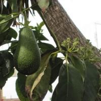 Cum se alege si se prepara un avocado?