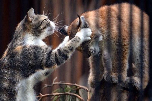 В зоопарке Новосибирска домашняя кошка выкормила рысь, от которой при рождении отказалась мать