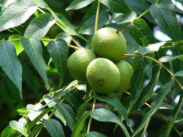 Лекарство орехового дерева