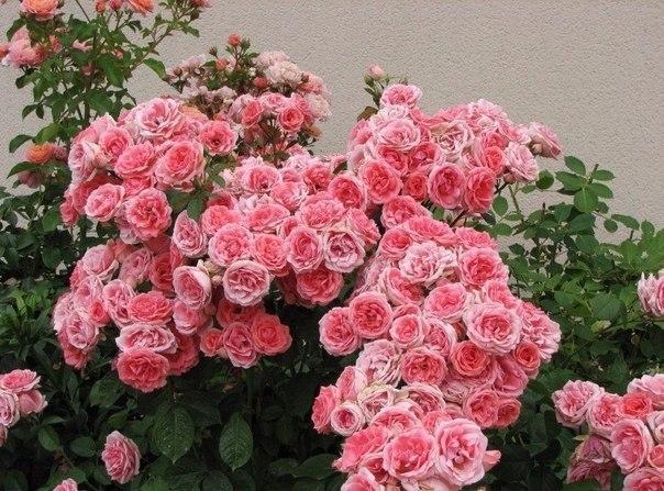 Alimentarea de primăvară a trandafirilor