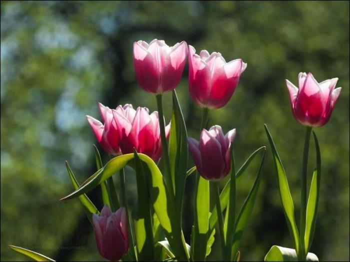 Тонкости выращивания тюльпанов в вашем саду
