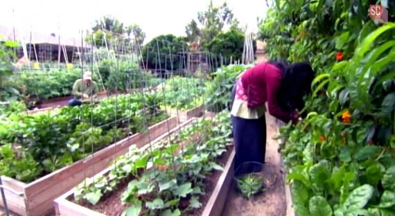 Как семья на 4 сотках собирает 3 тонны овощей и кормит все рестораны города