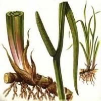 Применение корней аира болотного в народной медицине