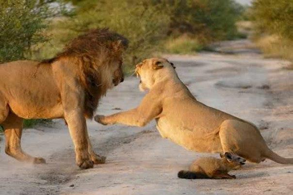 Два льва приблизились к раненому лисенку… Затем произошло то, что не поддается объяснению