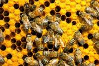 57 различных видов пестицидов найдены в отравленных пчелах