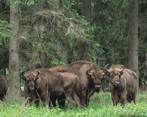 В Польше началась вырубка Беловежской пущи, последнего островка первобытного леса Европы