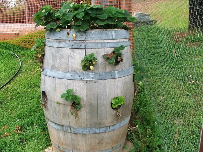 Клубника в бочке — отличный урожай и экономия земли!