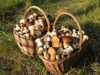 Выращивание белых грибов на даче это не миф, а реальность. Главное — это знать некоторые особенности и тогда ваш труд будет результативным (было бы удивительно, если бы этот король грибов не имел своих требований к уходу за ним). Эта статья о том, как вырастить белые грибы с помощью двух способов. Первый способ — это выращивание с помощью мицелия, второй — с использованием свежих шапок грибов.