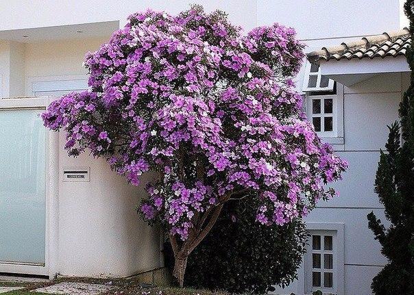 Тибухина – необыкновенное растение