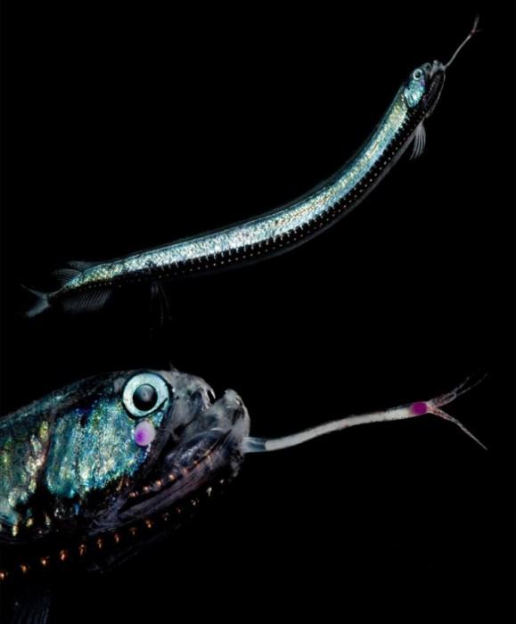 Фотограф заснял существ, обитающих в водах, куда не попадает свет солнца