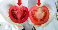 Каждый день мы едим яд! Вот как отличить помидоры с ГМО от натуральных