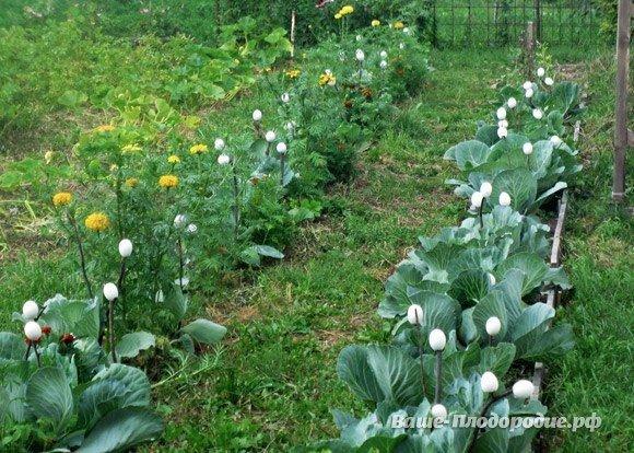 Яичная скорлупа в помощь огороднику. Защита от болезней и вредителей