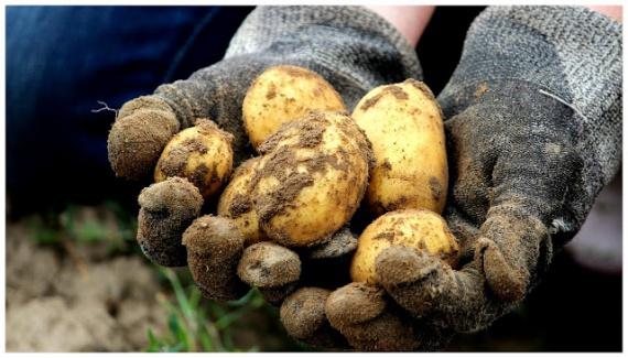 Prima roadă de cartofi a fost culeasă. Dar de ce să stea pămîntul gol? Umpleți spațiul cu alte culturi și bucurați-vă de roadă la maximum.
