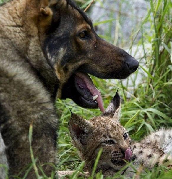 Необычные друзья – рысята и немецкая овчарка (Фото)