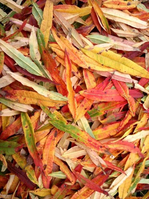 Самый красивый разноцветный Иван-чай