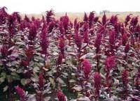 Амарант признан идеальным растением XXI века
