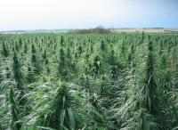 Израиль: минсельхоз начинает выращивать коноплю для применения в медицине