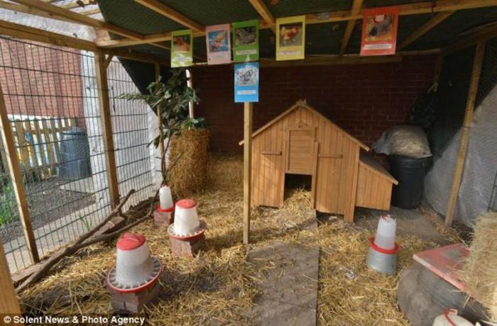 De obicei, dacă vulpea intră într-un coteț, atunci e catastrofă. Însă această vulpe nu prezenta nici un pericol pentru găini. Animalul a intrat în cotețul școlii din Porsmouth Flying Bull Primary School și s-a instalat pe cuibarul cu ouă de găină, unde a și adormit.