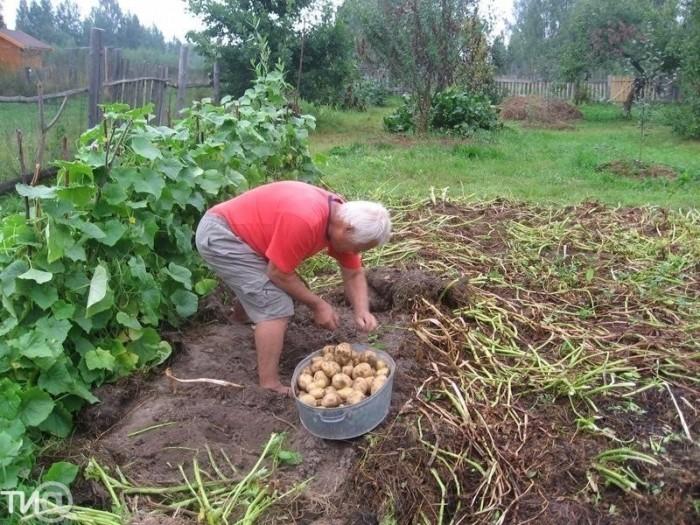 В Тверской области собирают тонну картофеля с сотки, несмотря на засуху