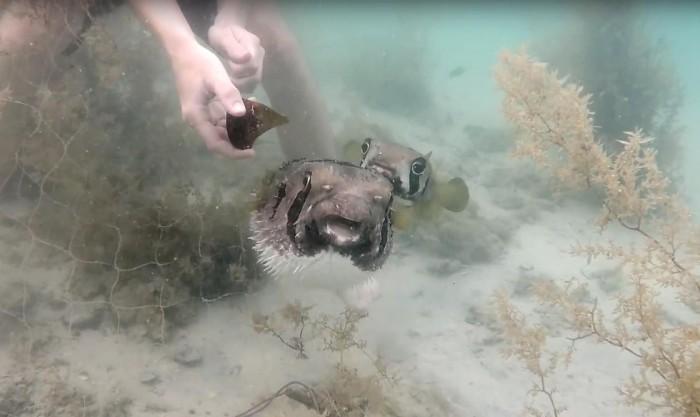 Рыба-подруга не бросает любимого в трудную минуту (Видео)
