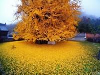 1400-летнее дерево гинкго (Фото)