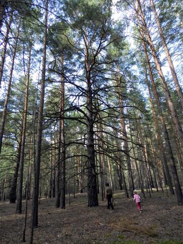 """Почему деревья старше 150-200 лет встречаются только под """"культурным"""" слоем (+Фото)"""
