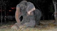 Слон, которого 50 лет держали в цепях, заплакал после освобождения (+Видео)