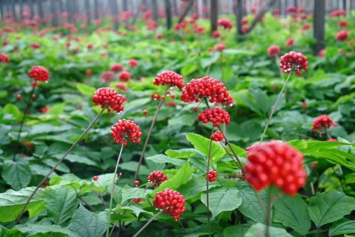 Панацею от многих заболеваний - Женьшень - можно выращивать на собственном участке! (+Видео)