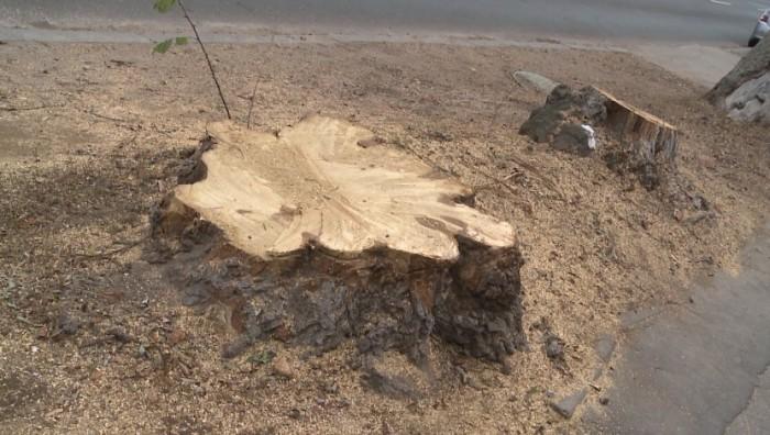 Примэрия продолжает вырубать деревья (Фото)