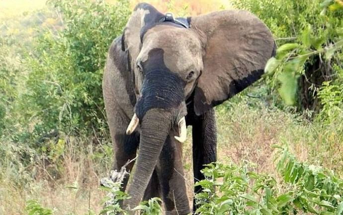 В Зимбабве раненный браконьерами слон пришел за помощью к людям