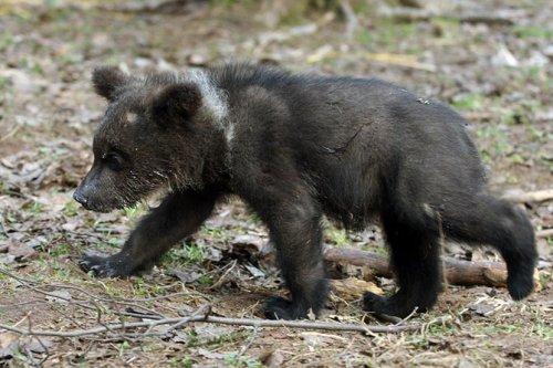 Бывший охотник на медведей, биолог Валентин Пажетнов, раскаялся и открыл детский сад для медвежат, оставшихся без родителей после сезона охоты! (+Фото)
