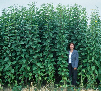 Topinamburul – soluția tuturor problemelor pentru fermierii moderni